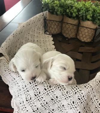2 Pups Dozing from Coalville litter 1-24-19