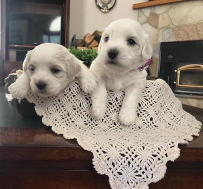 2 Pups from Coalville litter 1-24-19